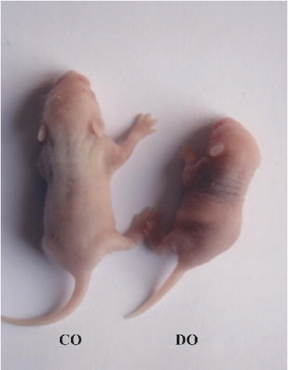 Figure 1. Newborn offspring. Offspring coming from mouse dams fed the vitamin B12 sufficient diet (CO) and the vitamin B12 deficient diet (DO).