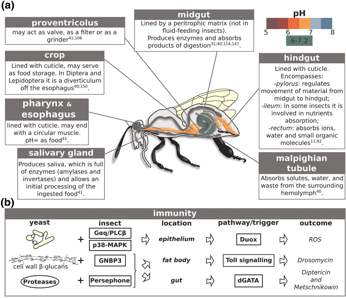 Figure 1 from Yeast‐insect associations: It takes guts - Semantic ...