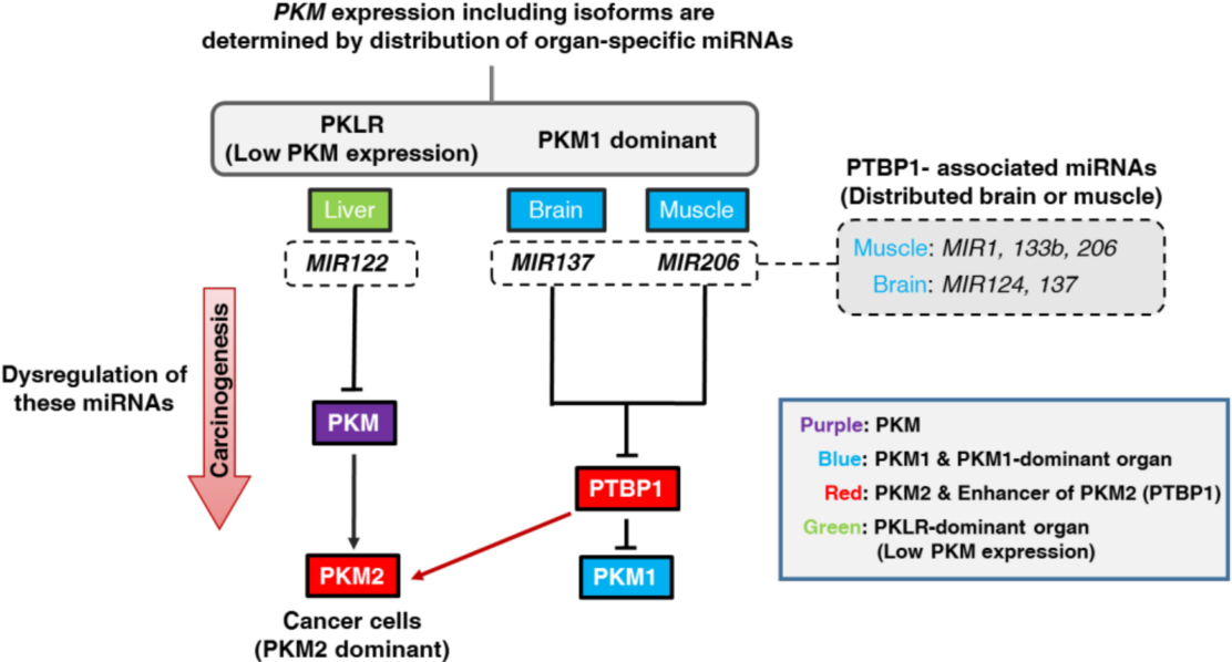 Figure 5 from Organ-Specific MicroRNAs (MIR122, 137, and 206