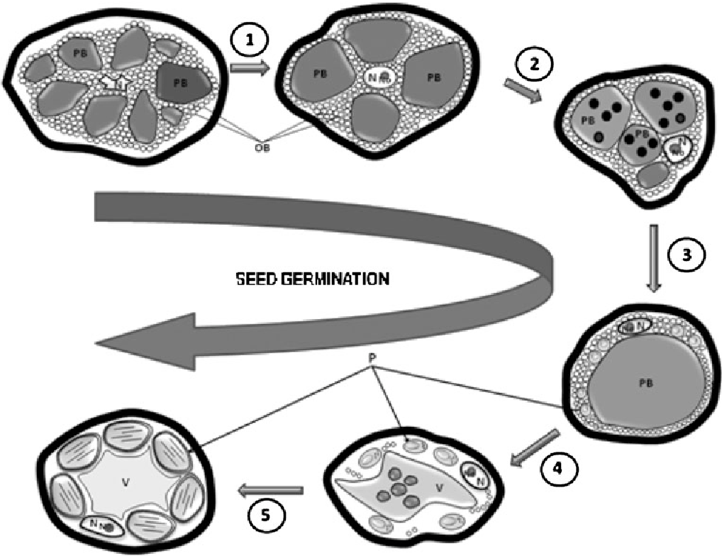 Figure 7 From Development Of The Cotyledon Cells During Olive Olea Diagram Showing Stages Seed Germination And Seedling Schematic Main Morphological Structural Rearrangements In