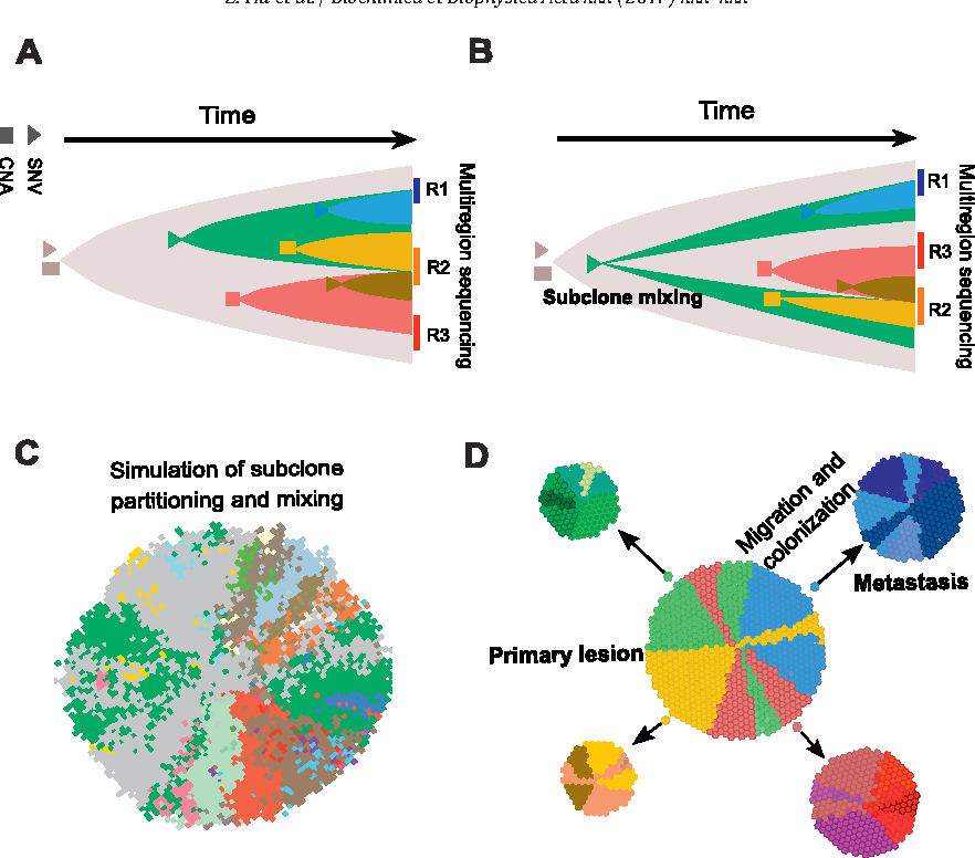 Fig. 5. Spatial structure and migration contribute to intra-tumor heterogeneity. (A) Schematic illustration of tumor biopsy or resection specimens derived frommultiple local regions of a tumor expanding under stringent spatial constraints. Due to the spatial constraints, clones are partitioned and the genetic diversity within regions (R1, R2 or R3) is smaller than the diversity between regions (e.g. R1 vs R3). (B) While the three regions exhibit equivalent clonal composition, one cannot distinguish whether subclone mixing occurred early during tumor growth. (C) Clone map derived from a virtual tumor simulated within an agent-based tumor growth model with spatial constraints and subclone mixing. Each colored region represents an individual clone composed of cells that share the same mutations. Most clones are locally restricted, whereas the green clone spans distant regions of the tumor. (D) Migration and metastasis can significantly increase the divergence between tumors due to augmented genetic drift and clonal selection.