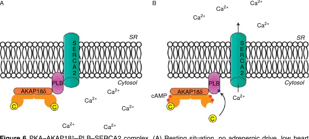 Figure 6 PKA–AKAP18d–PLB–SERCA2 complex. (A) rate, SERCA2 inhibited by PLB with low ATP and ener the heart and increased heart rate. SERCA2 released f to fast Ca2C reabsorption and high ATP and energy co