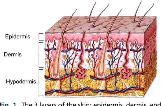 Aging skin: histology, physiology, and pathology. - Semantic Scholar