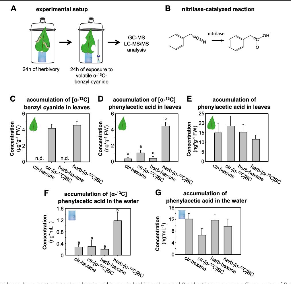 The nitrilase PtNIT1 catabolizes herbivore-induced nitriles in