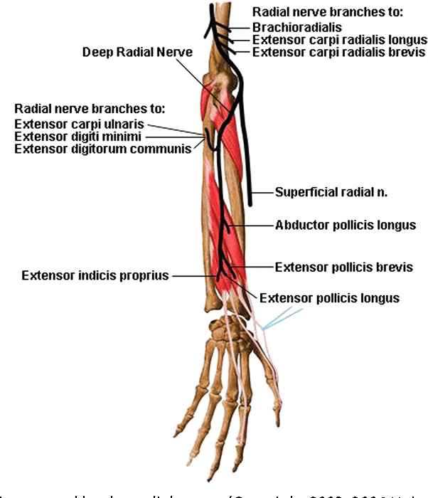 Anatomical, clinical, and electrodiagnostic features of radial ...