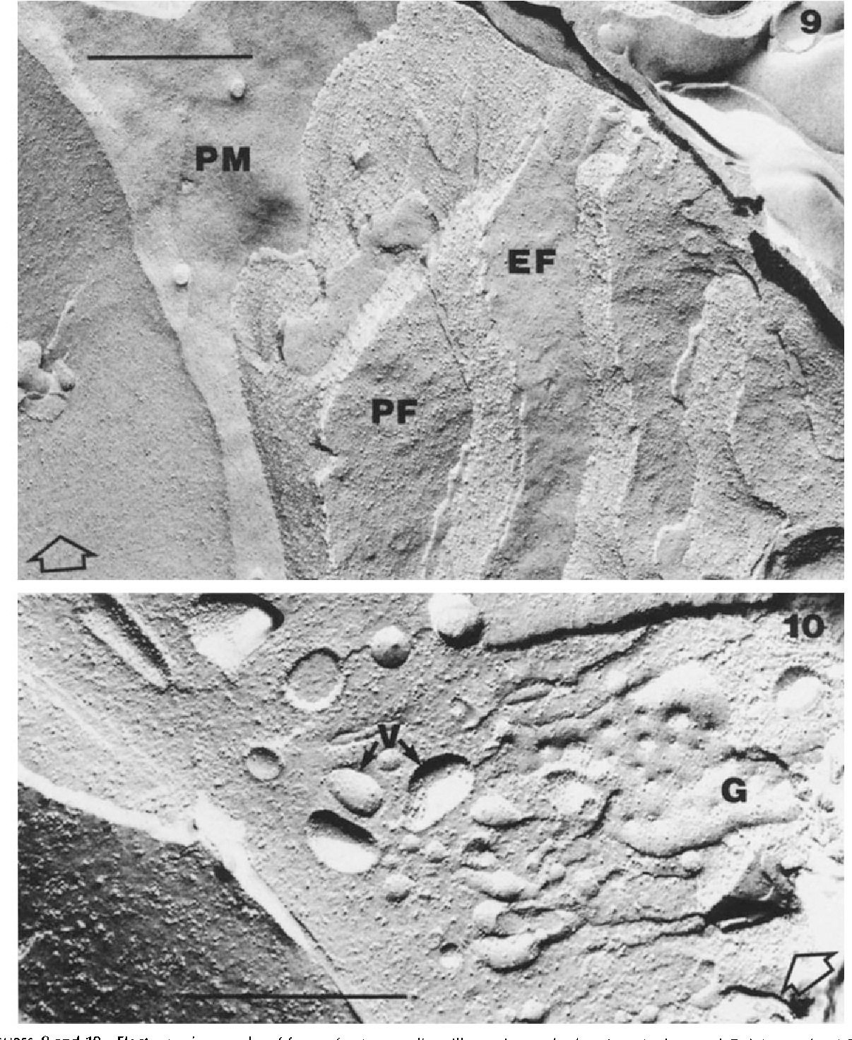 FIGURE 9 Micrograph illustrating the EF leaflet of the inner segment plasma membrane (PM) as well as PF and EF leaflets of elongated cisternae of endoplasmic reticulum. x 59,700.