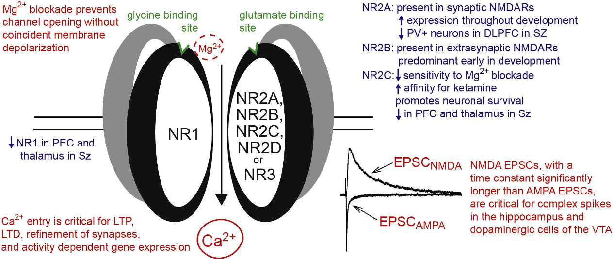 Fig. 1. Schematic description of functional properties of the NMDA receptor. Features that distin relevance to schizophrenia are presented.