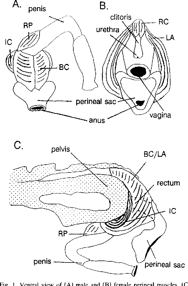 Colorful Male Guinea Pig Anatomy Component - Anatomy Ideas - yunoki.info
