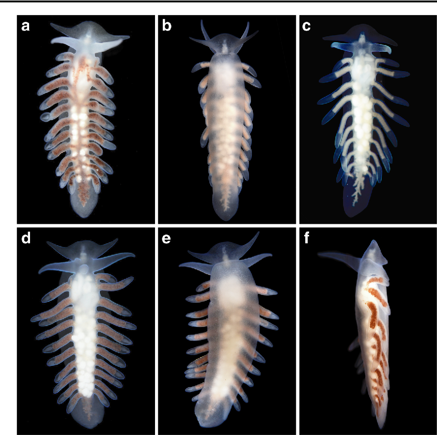 Living with a giant parchment tube worm: a description of a new ...