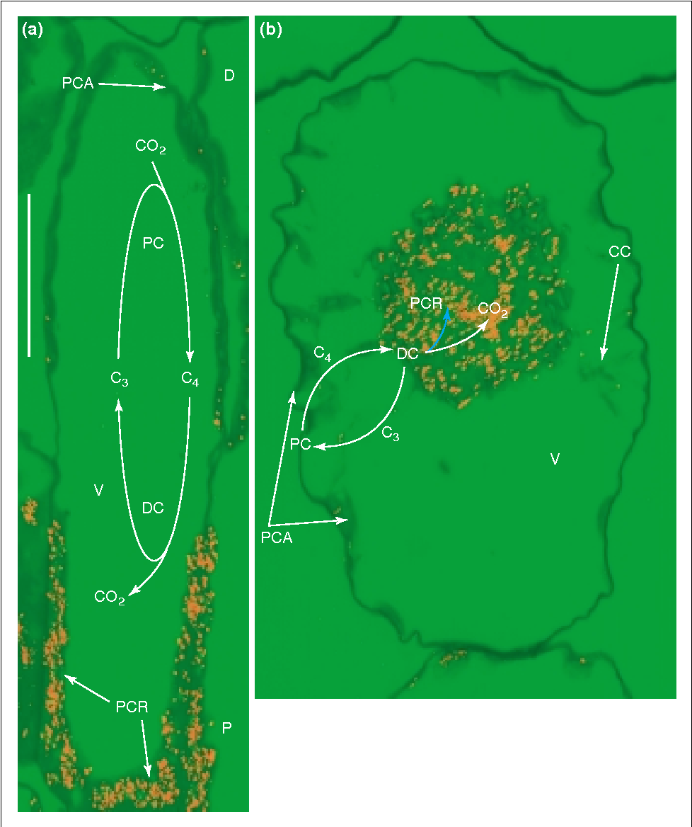 Figure 2 from C(4) photosynthesis in terrestrial plants does not ...