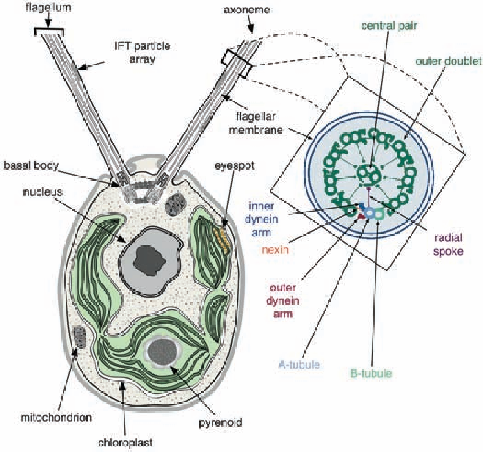 The Chlamydomonas Genome Reveals The Evolution Of Key Animal And