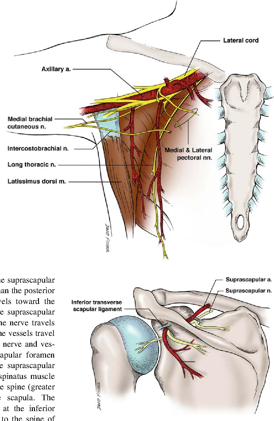 Anatomy and landmarks for branches of the brachial plexus: a vade ...