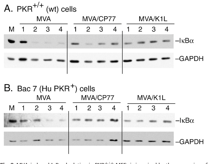 Fig. 8. MVA-induced IκBα depletion in PKR+/+ MEFs is impaired by the expression of either the cowpox virus CP77 gene or the vaccinia virus K1L gene. (A) PKR+/+ cells were infected with MVA, MVA/CP77, or MVA/K1L (20 pfu/cell). At the indicated times post-infection, cells were harvested, and the depletion of IκBα was monitored as described in Fig. 1A. (B) BAC 7 cells, which are PKR0/0 MEFs that express the human PKR gene, were infected with MVA, MVA/CP77, or MVA/K1L (20 pfu/cell). At the indicated times post-infection, cells were harvested, and the depletion of IκBα was monitored as described in Fig. 1A. The membranes were subsequently processed for the detection of GAPDH as controls for protein loading per lane.