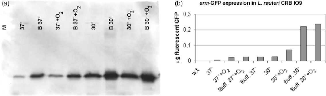 Fig. 2. Influence of culture conditions on erm-GFP expression in Lactobacillus reuteri. (a) Western blot analysis of cell lysates and cell-free medium from L. reuteri DSM 20016T/pTRKH3-ermGFP grown in different culture conditions. Cells were grown in several combinations of the following parameters: MRS broth (–) or MRS broth buffered with KHPO4 (B), 30 1C (301) or 37 1C (371), anaerobiosis (–) or aeration (O2) (see Materials and methods). (b) GFP content in lag-phase cell lysates of L. reuteri I09/pTRKH3-ermGFP was assessed after culturing in different conditions. Cells were grown in several combinations of the following parameters: 30 1C (301) or 37 1C (371), anaerobiosis (–) or aeration (O2), MRS broth (–) or MRS broth buffered with KHPO4 (Buff.). The GFP content is referred to the same amount of cells (measured as OD600 nm). w.t., Wild type.