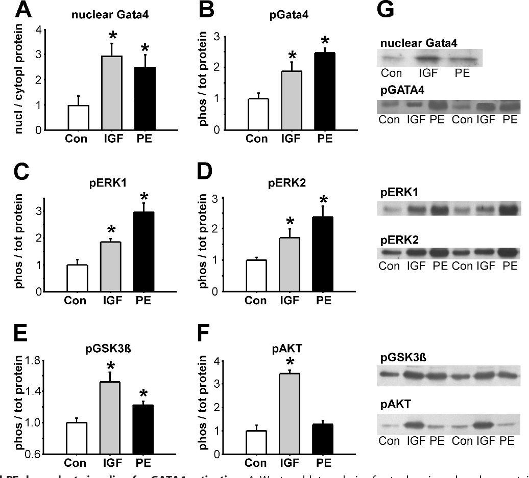 FIGURE 2. IGF1- and PE-dependent signaling for GATA4 activation. A, Western blot analysis of cytoplasmic and nuclear protein extracts after 3 h of stimulation, the ratio of nuclear to cytoplasmic GATA4 levels increased after IGF1 (10 nmol/liter) and PE (20 mol/liter) (n 4). B–F, quantitation of Western blots for phosphorylated protein levels in whole protein lysates after 5 min of stimulation with IGF1 or PE, normalized to corresponding total protein and to GAPDH (n 6 experiments). B, phosphorylated GATA4 (Ser105). C, phosphorylated ERK1 (Thr202 and Tyr204). D, phosphorylated ERK2 (Thr185 and Tyr187). E, phosphorylated GSK3 (Ser9). F, phosphorylated AKT (Ser473). G, representative Western blots. *, p 0.05 versus control (Con).