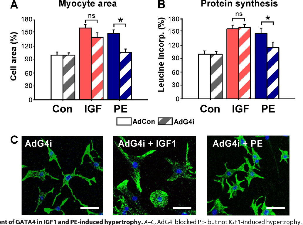 FIGURE 5. Requirement of GATA4 in IGF1 and PE-induced hypertrophy. A–C, AdG4i blocked PE- but not IGF1-induced hypertrophy. A, cultured cardiomyocytes after infection with AdG4i (multiplicity of infection of 15) and stimulation with IGF1 (10 nmol/liter) or PE (20 mol/liter) for 48 h. Staining for sarcomeres (desmin, green) and nuclei (ToPro3, blue), imaged by fluorescence microscopy. Bar, 50 m. B, quantitative results for myocytes cell area from n 5 cultures. C, protein synthesis indicated by leucine incorporation, agonist stimulation for 24 h (n 5). *, p 0.05 versus AdCon. Con, control.