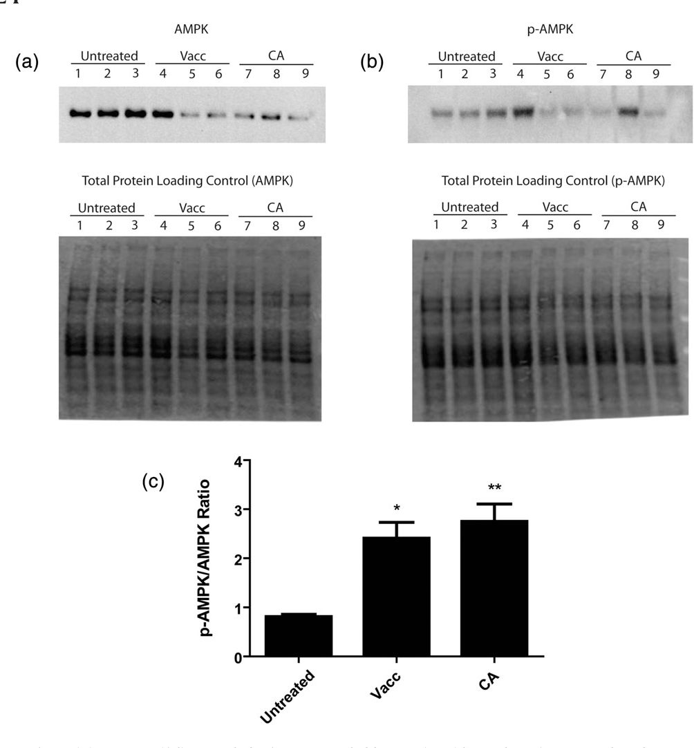 FIGURE 5 The effects of Vaccinium angustifolium crude leaf extract and chlorogenic acid on adenosine monophosphate‐activated protein kinase (AMPK) phosphorylation. Changes in the phosphorylation status of AMPKwere assessed in cell lysates collected form HTR‐8/SVneo cells following treatment of 20 ng/ml V. angustifolium crude leaf extract (Vacc), or 200 ng/ml chlorogenic acid (CA). Phosphorylated AMPK (b) and total AMPK (a) levels were normalized to the total protein loading control prior to determining the ratio of phosphorylated protein to total protein (c). All values are presented as mean ± standard error of the mean (n = 3). Data were analysed by one‐way analysis of variance and Dunnett's multiple comparison test