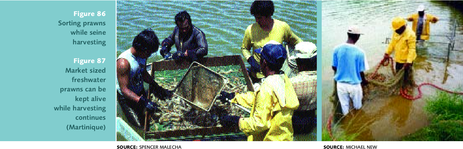 Figure 87 from Farming freshwater prawns  A manual for the culture