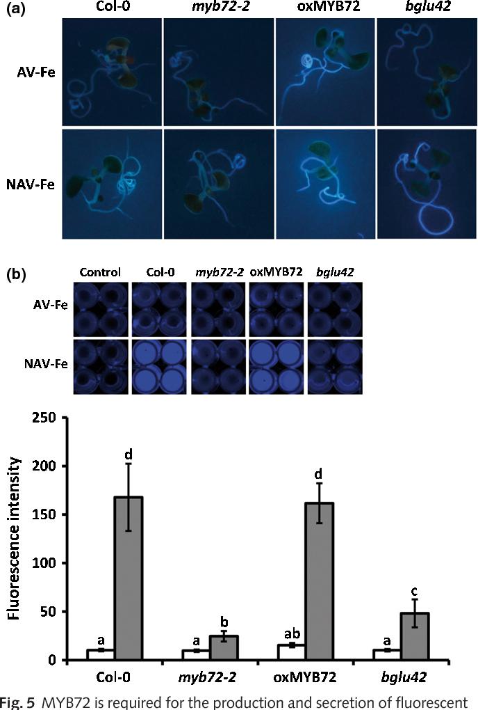 Key Arabidopsis Deficiency And Myb72-dependent Bglu42