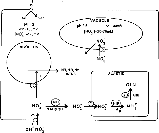 schematic diagram of the nitrate assimilation pattiway