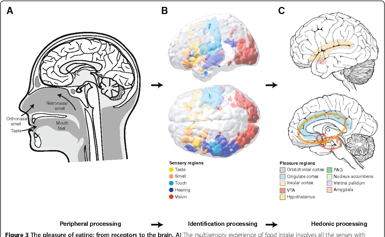 Understanding Brain Mechanisms Of >> The Pleasure Of Food Underlying Brain Mechanisms Of Eating And