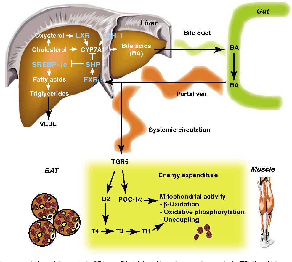 Figure 3 from Endocrine functions of bile acids. - Semantic Scholar