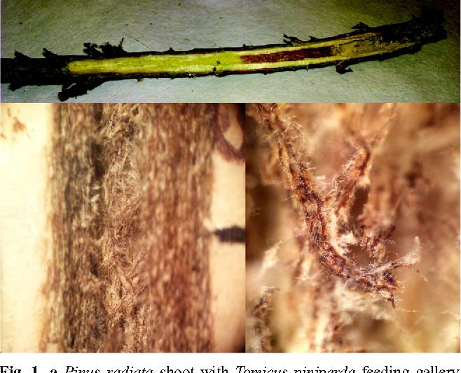 pine shoot beetle