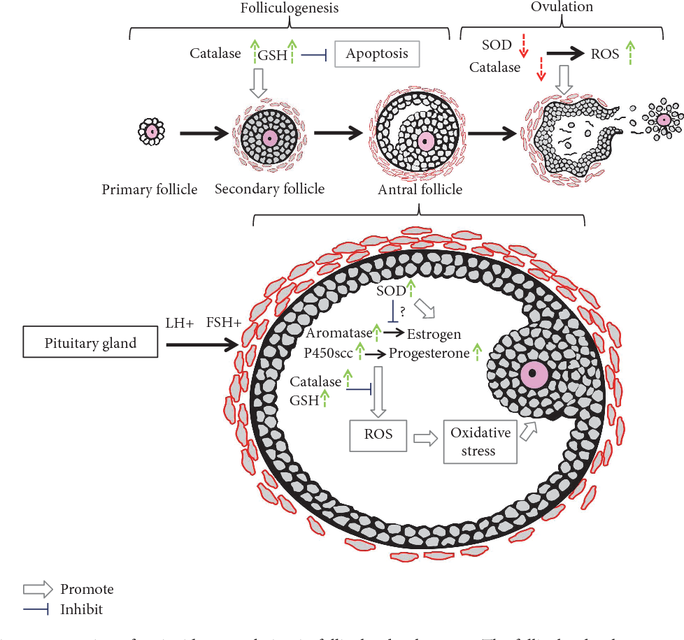 The Role Of Antioxidant Enzymes In The Ovaries Semantic Scholar
