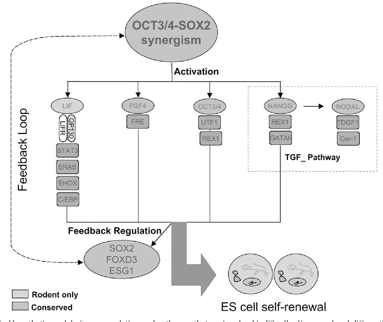 Fig. 6. Hypothetic model of gene regulation and pathways that are involved in ES cell self-renewal and differentiation.