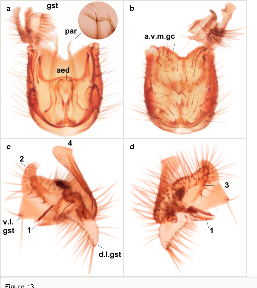Figure 13 From New And Poorly Known Palaearctic Fungus Gnats