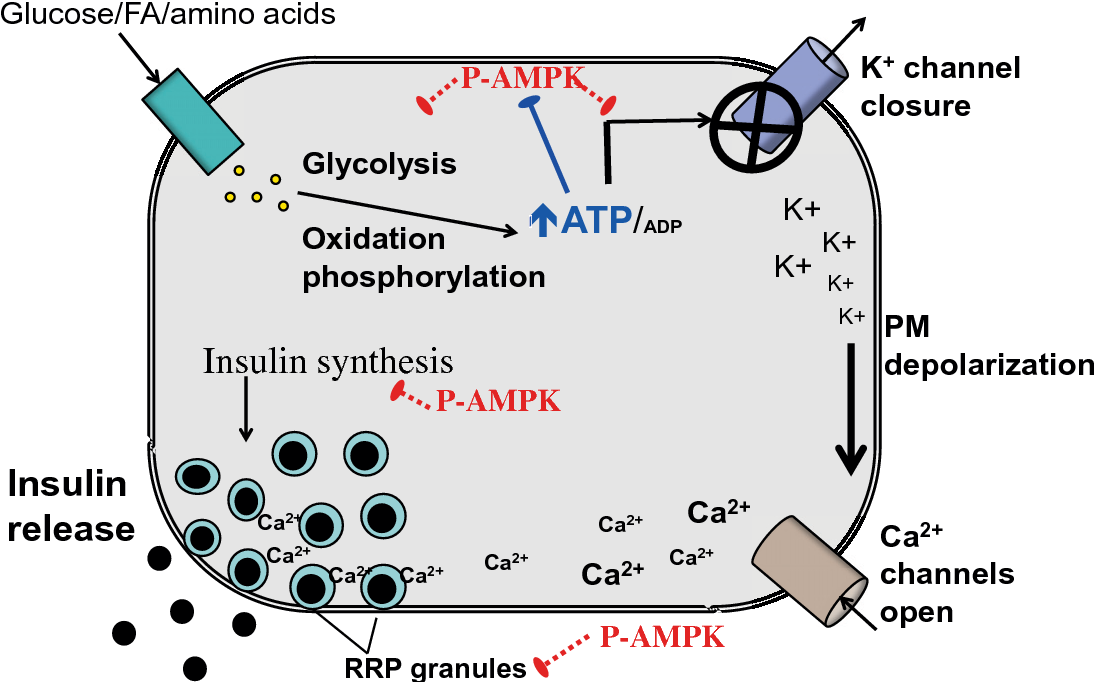 Figure 1 From Role Of Ampk In Pancreatic Beta Cell Function