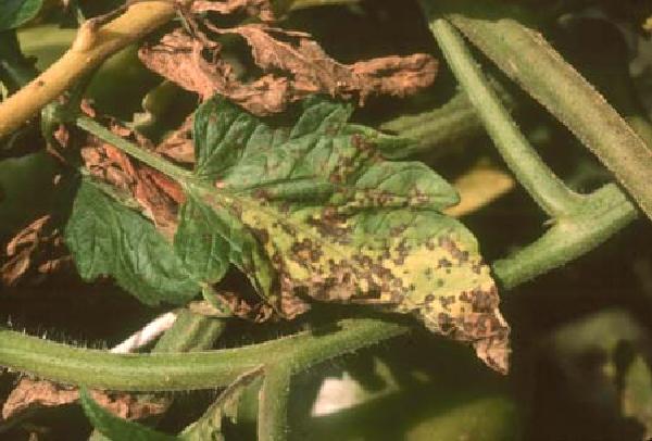 PDF] Septoria leaf spot of Tomato  - Semantic Scholar