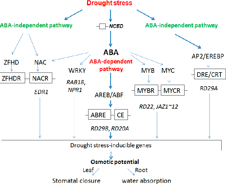 Figure 8. Proposed model for drought stress mechanism of root and leaf in B. napus.