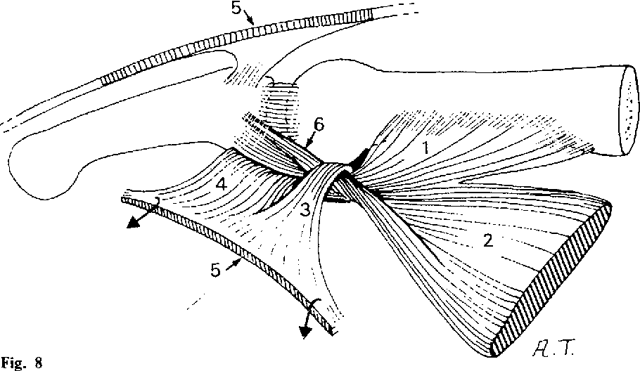 Morphology and functional anatomy of the first dorsal interosseous ...