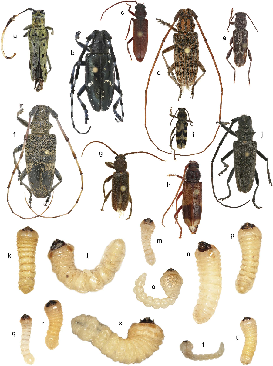 Figure 2 From Identification Of Wood Boring Beetles
