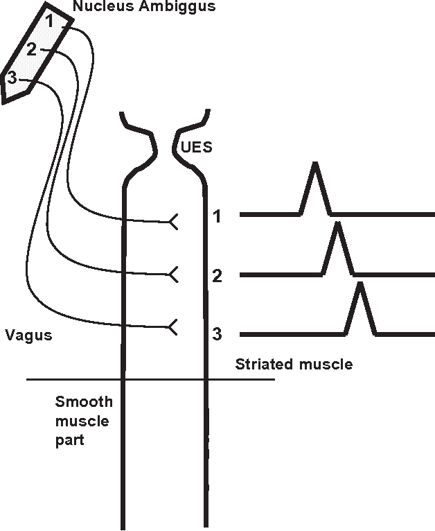 Figure 2 from Anatomy and physiology of the esophageal body ...
