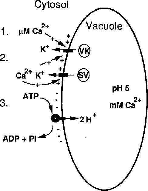 Figure 8 From Calcium Activated K Channels And Calcium Lnduced