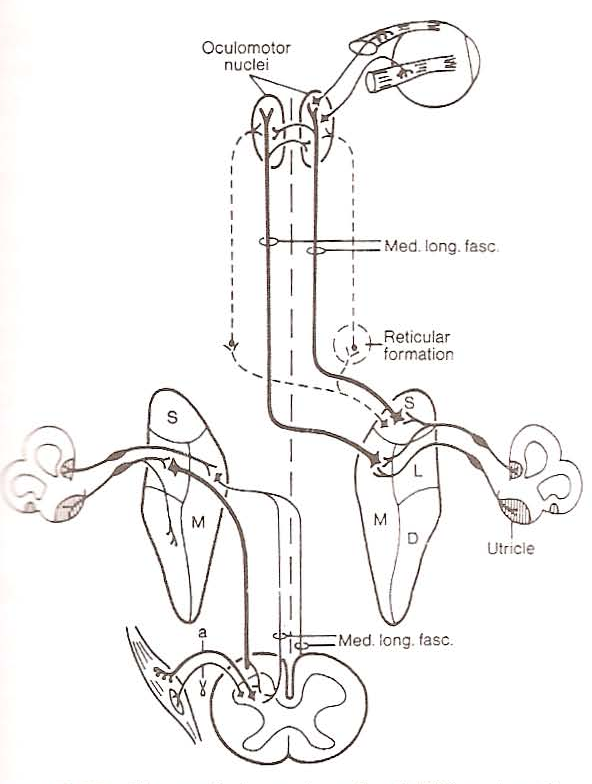 Anatomy and Physiology of the Normal Vestibular System - Semantic ...