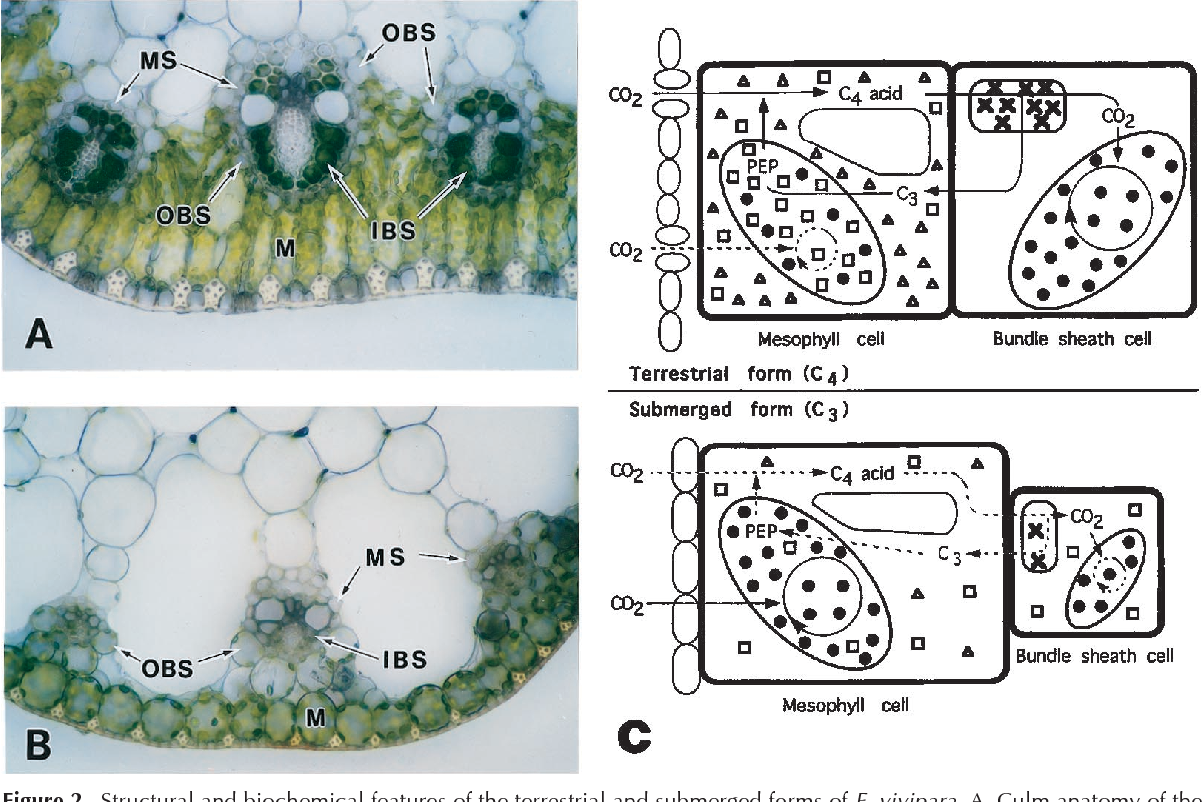 Figure 2 from Update on C 4 Photosynthesis Environmental Regulation ...