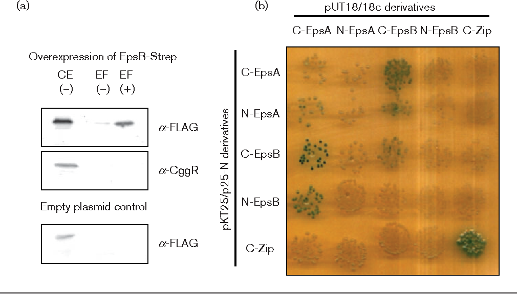 """Fig. 1. The tyrosine kinase EpsB and its cognate modulator protein EpsA interact physically. (a) EpsA co-purifies with EpsB. The EpsB-Strep fusion protein was expressed from plasmid pGP2126 under the control of a strong constitutive promoter in Bacillus subtilis GP1589 that expresses EpsA-FLAG under the control of its native promoter. To ensure high expression of EpsA-FLAG, the gene for the anti-activator SinR was deleted in this strain. Cells were grown in CSE-glucose medium until the late exponential growth phase. EpsB-Strep was purified in the absence ("""") or presence (+) of the cross-linker formaldehyde. To detect the co-purified EpsA-FLAG protein, the elution fractions were heated to reverse the cross-linking and applied to a 12 % SDS polyacrylamide gel. After electrophoresis and blotting onto a PVDF membrane, EpsA was detected via its FLAG-tag. To test that the binding of EpsA to EpsB is not unspecific we tried to detect the CggR protein in the same elution fractions with a specific antibody. Additionally, we used an empty vector control to test unspecific binding of EpsA to the Streptactin column. CE, crude extract; EF, elution fraction. (b) EpsA and EpsB interact in the B2H system. The genes encoding EpsA and EpsB were cloned in the low-copy plasmids p25N and pKT25 and the high-copy plasmids pUT18 and pUT18c. These plasmids allow the expression of the genes of interest fused to the N or C terminus of the T18 or T25 domains of the Bordetella pertussis adenylate cyclase, respectively. The E. coli transformants harbouring both vectors were incubated for 48 h at 30 6C. Degradation of X-Gal and the resulting blue colour of the cells indicate interaction due to the presence of a functional adenylate cyclase."""