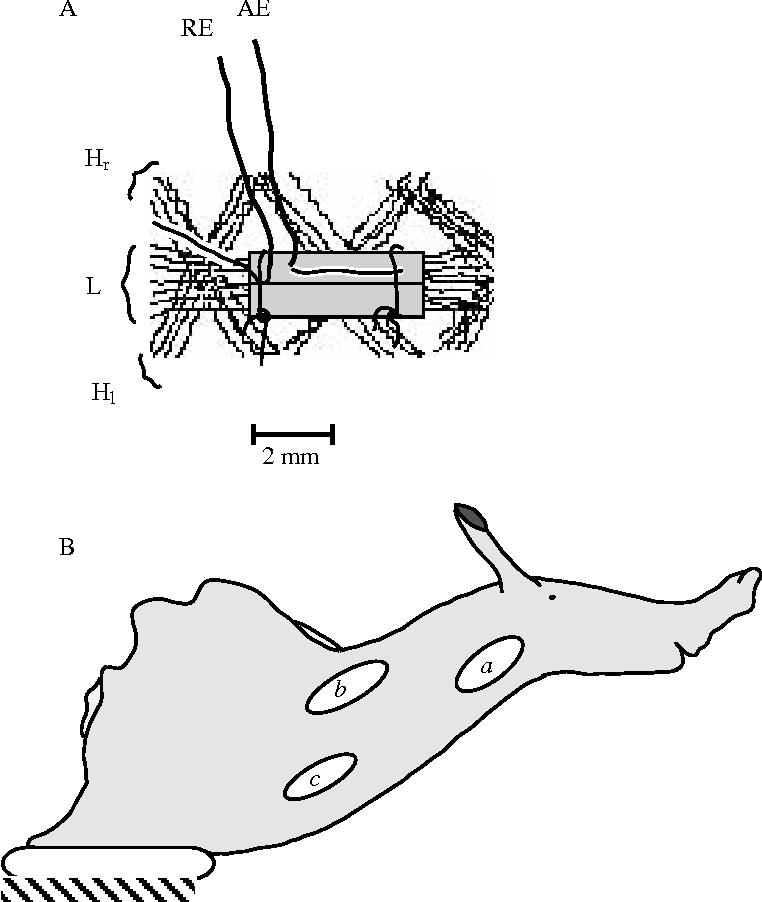 Figure 1 from Head waving in Aplysia californica. II. Functional ...