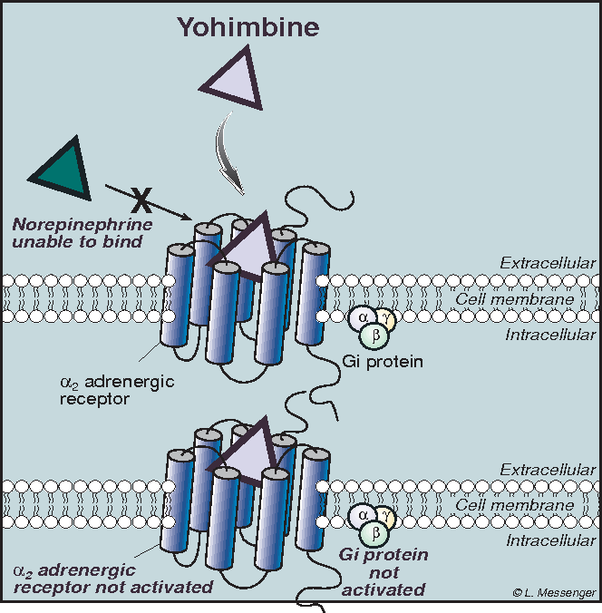 Figure 3 Hypothetical mechanism of action of yohimbine.
