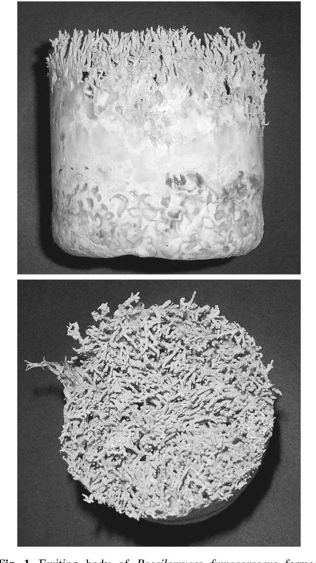 Fig. 1. Fruiting body of Paecilomyces fumosoroseus formed on unpolished rice medium supplemented with 20% (w/w) silkworm pupae after 40 days of incubation at 25oC under 100 lux.
