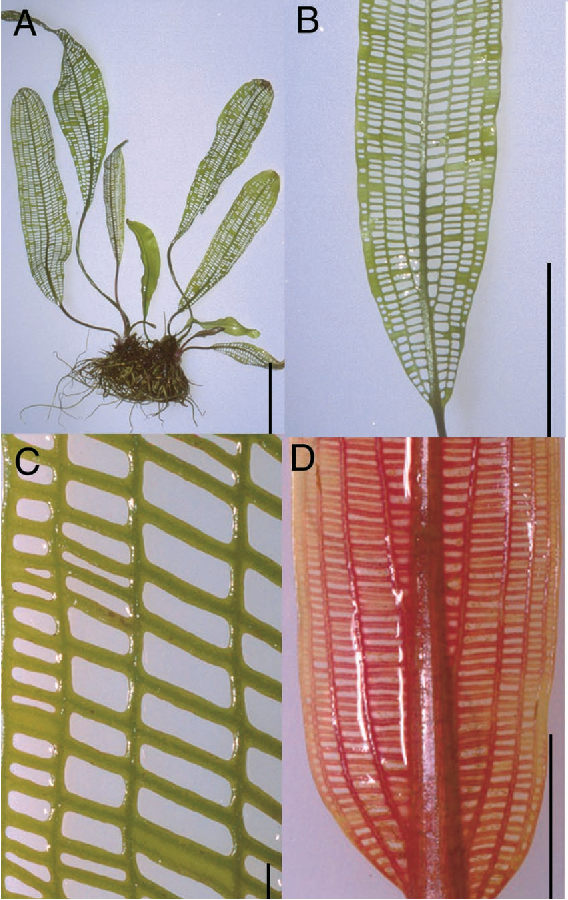 Figure 1. Morphology of Mature and Developing Leaves of Lace Plant.