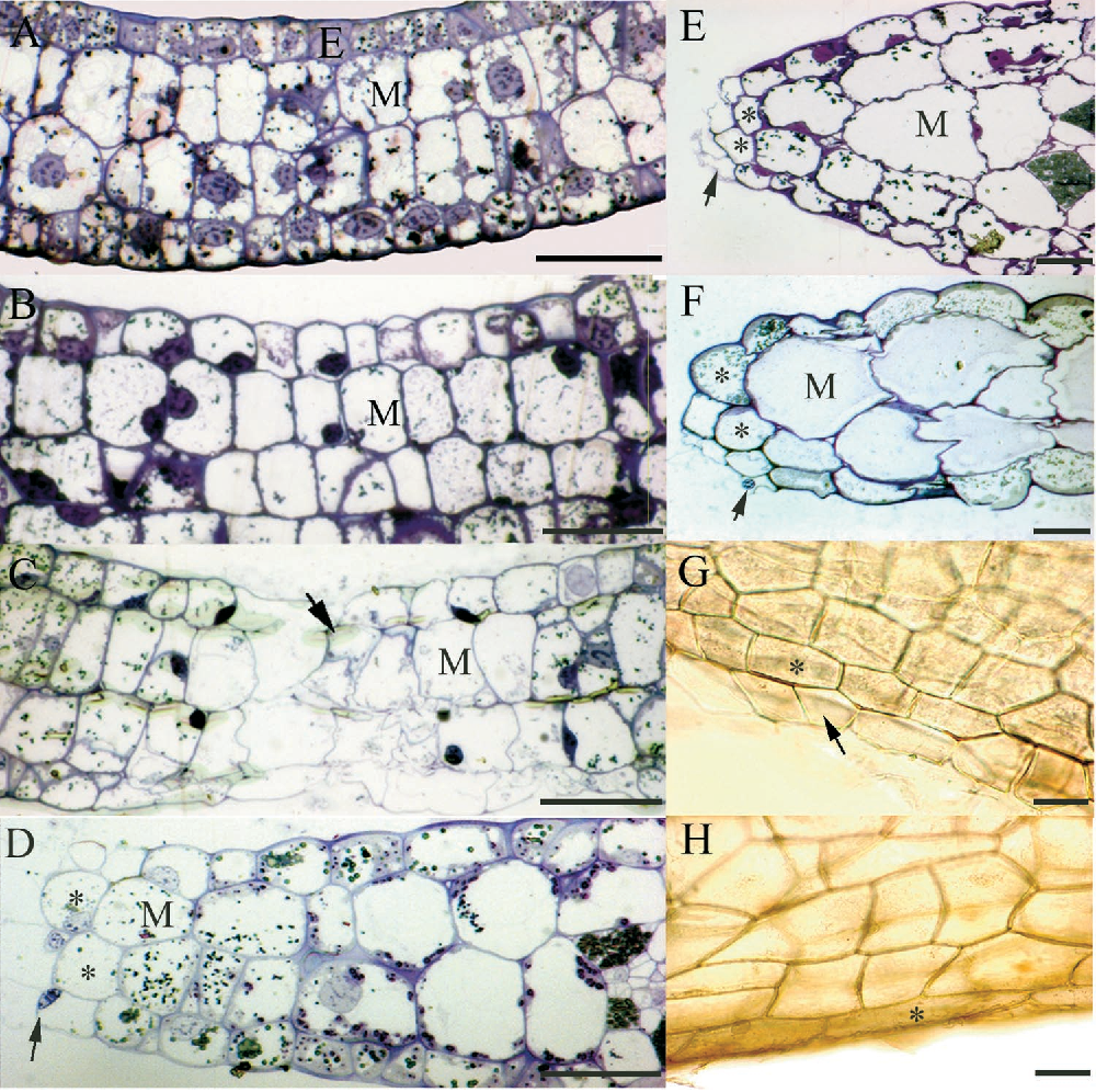 Figure 3. Light Micrographs of Spurr-Embedded Tissues Stained with Toluidine Blue O and of Unstained Cleared Tissues Showing the Five Stages of Perforation Formation and the Properties of Transdifferentiating Cells.