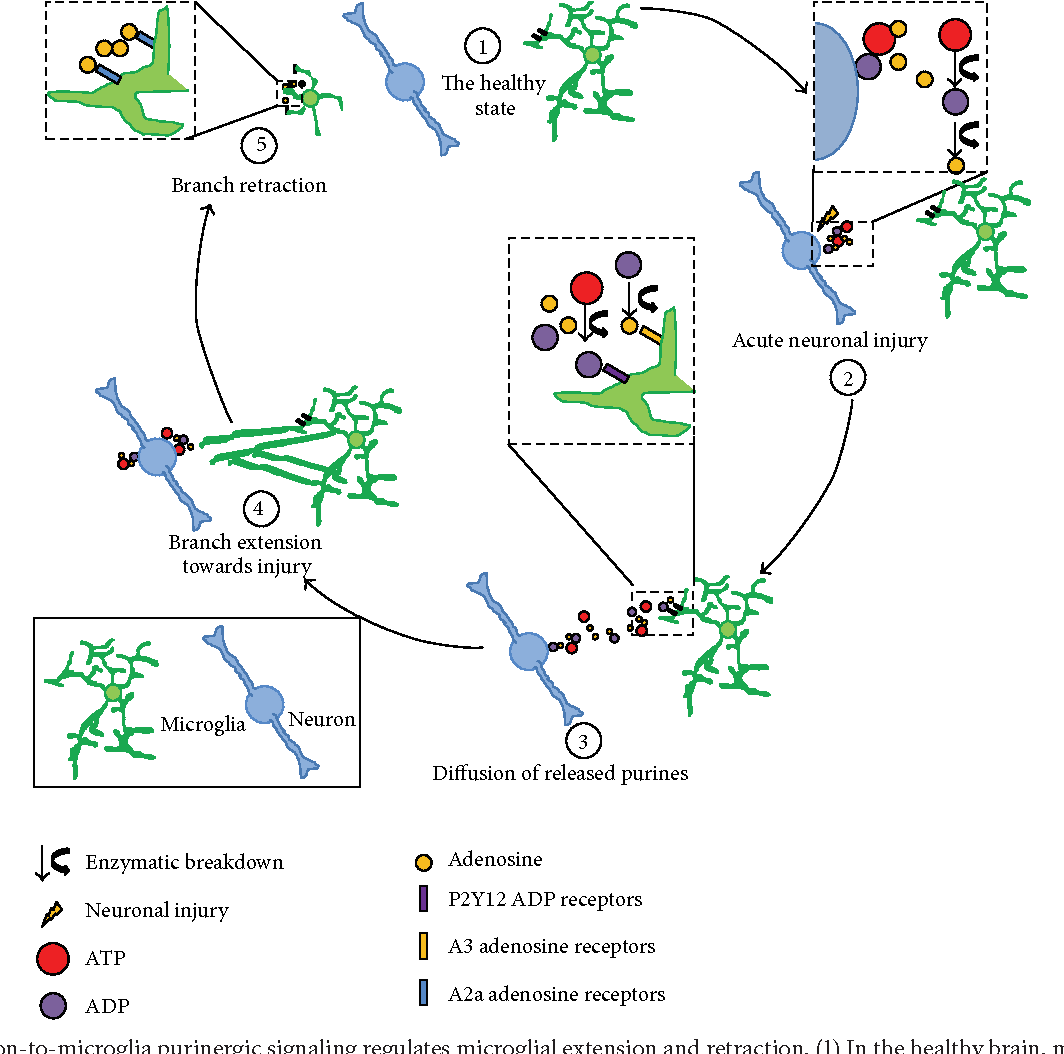 Bidirectional microglia neuron communication in the healthy brain figure 2 ccuart Choice Image