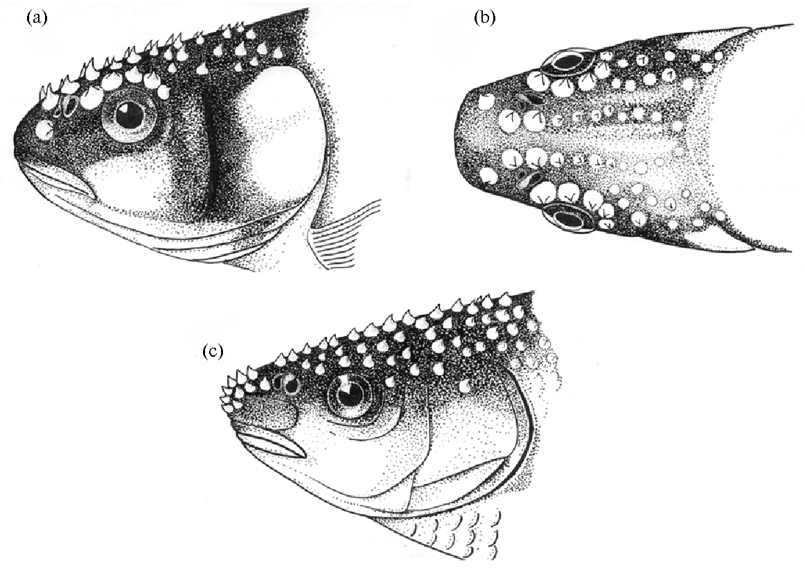 Figure 14 from Tactile reception and behavior of fish
