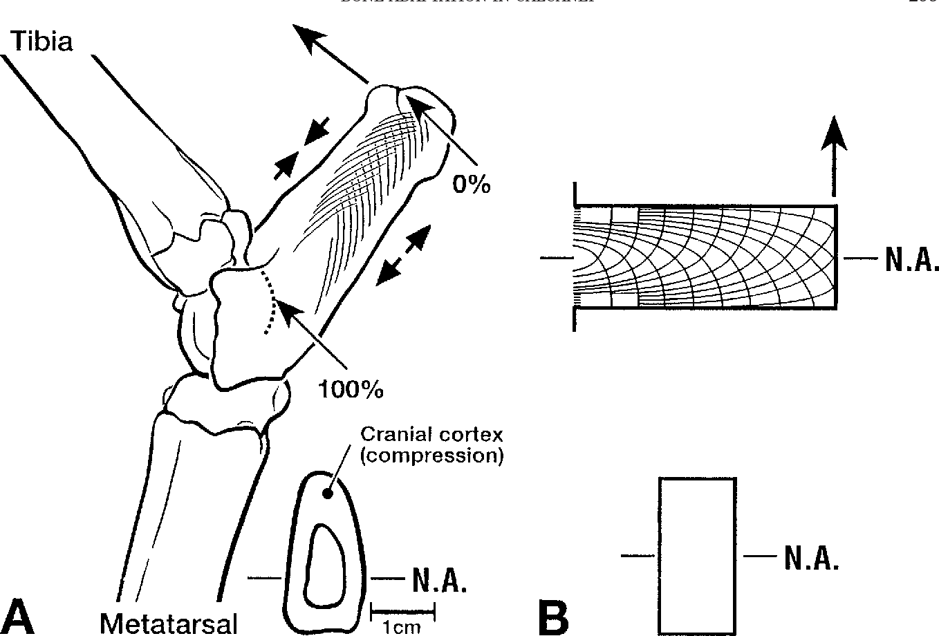Biomechanical implications of mineral content and microstructural ...