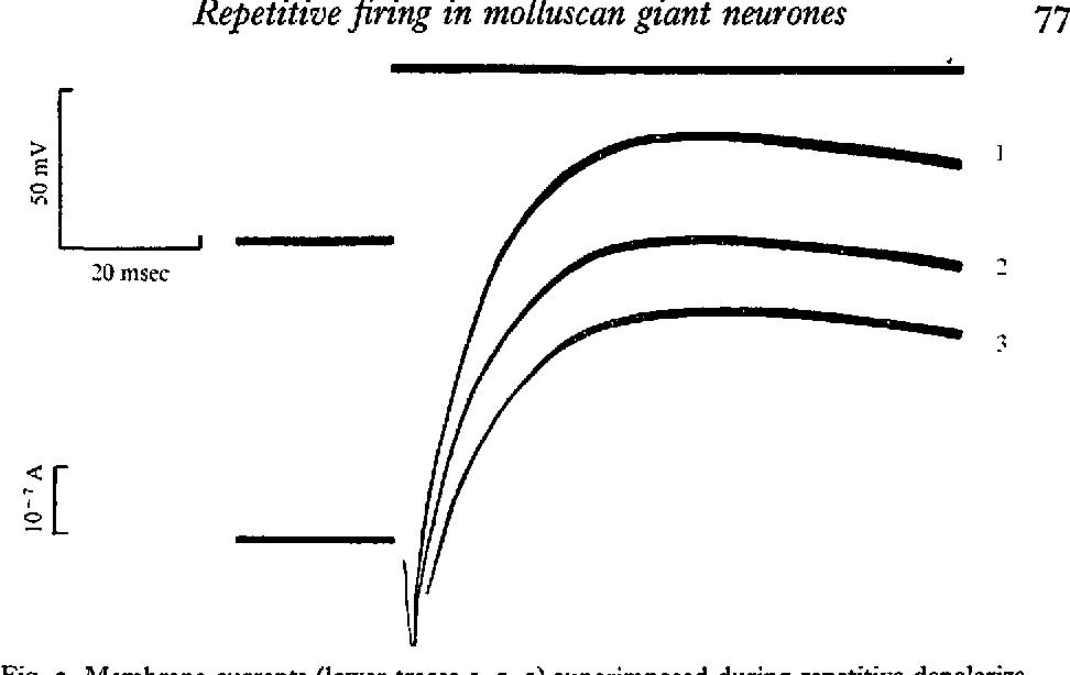 Fig. 3. Membrane currents (lower traces 1, 2, 3) superimposed during repetitive depolarization under voltage-clamp condition. Upper trace, voltage step.
