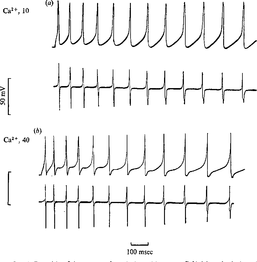 "Fig. 6. Repetitive firing pattern for solution with io mM Ca2+ (a), and solution with 40 mM Ca21"" (6). Upper traces, membrane potential; lower traces, rate of change of potential."